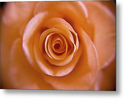 Rose Spiral 2 Metal Print by Kim Lagerhem