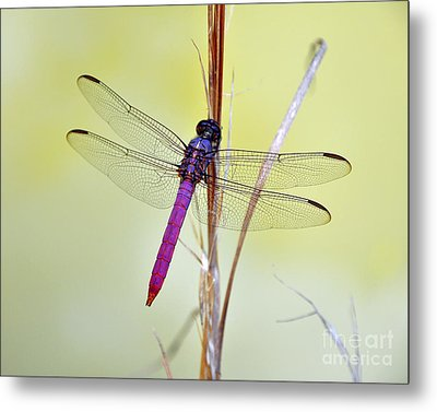 Roseate Skimmer Dragonfly Metal Print by Al Powell Photography USA