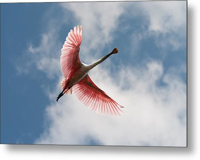 Metal Print featuring the photograph Roseate Soaring by Paul Rebmann