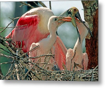Roseate Spoonbill Feeding Young At Nest Metal Print by Millard H. Sharp