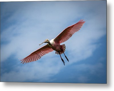 Roseate Spoonbill In Flight Metal Print by Gregory Daley  PPSA