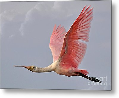 Metal Print featuring the photograph Roseate Spoonbill In Flight by Kathy Baccari