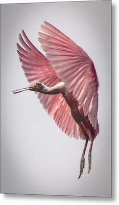 Roseate Spoonbill Landing Metal Print by Gregory Daley  PPSA