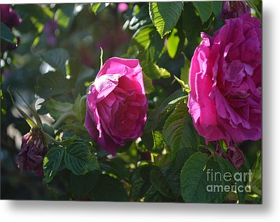 Roses At Sunrise Metal Print by Alys Caviness-Gober