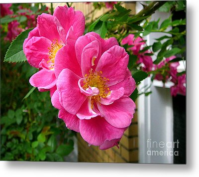 Roses In The Summer Metal Print by Anne Gordon