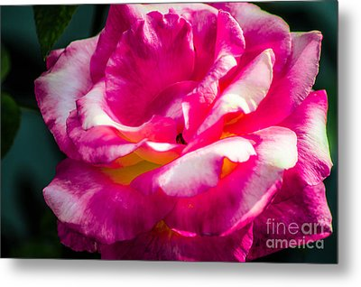 Rosy  Metal Print by Naomi Burgess