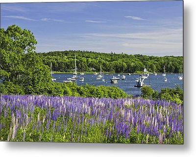 Round Pond Lupine Flowers On The Coast Of Maine Metal Print