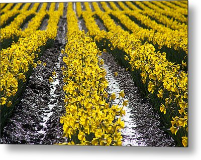 Rows Of Daffodils Metal Print