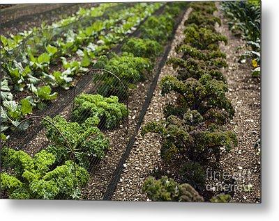 Rows Of Kale Metal Print by Anne Gilbert