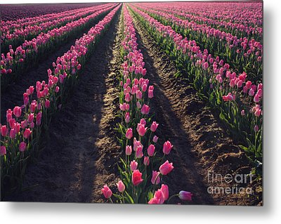 Metal Print featuring the photograph Rows Of Pink by Sylvia Cook