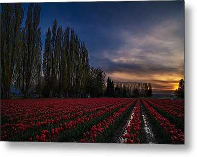 Rows Of Tulips And Tall Trees Metal Print