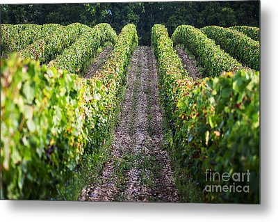 Rows Of Vines Metal Print