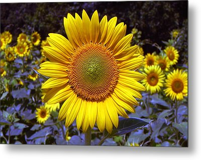 Metal Print featuring the photograph Roxanna Sunflower by Bill Swartwout