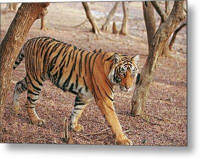 Royal Bengal Tiger Coming Metal Print