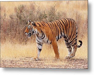 Royal Bengal Tiger Walking Around Dry Metal Print by Jagdeep Rajput