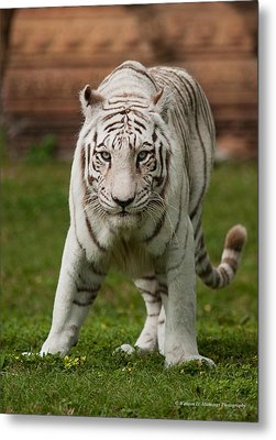 Royal Bengal Tiger Metal Print