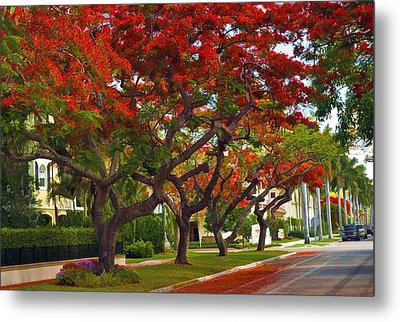 Royal Poinciana Trees In Blooming In South Florida Metal Print