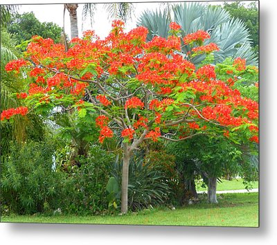 Metal Print featuring the photograph Royal Poinciana by Kay Gilley