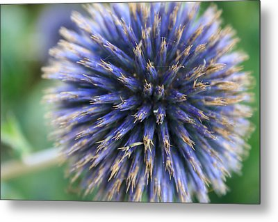 Royal Purple Scottish Thistle Metal Print