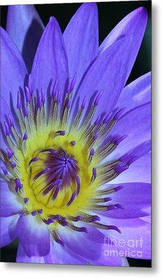 Royal Purple Water Lily #11 Metal Print