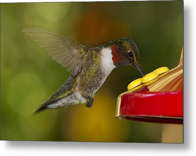 Metal Print featuring the photograph Ruby-throat Hummer Sipping by Robert L Jackson