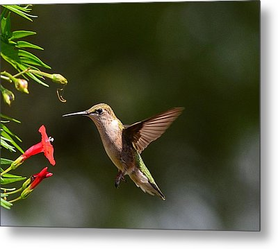 Ruby Throat Hummingbird Metal Print by Kathy Eickenberg