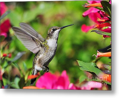 Metal Print featuring the photograph Ruby Throated Humingbird by Kathy Baccari