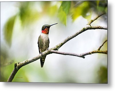 Ruby Throated Hummingbird Metal Print by Christina Rollo