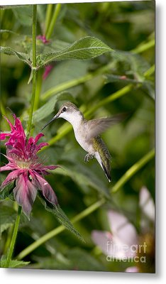 Ruby-throated Hummingbird Metal Print by Gregory K Scott