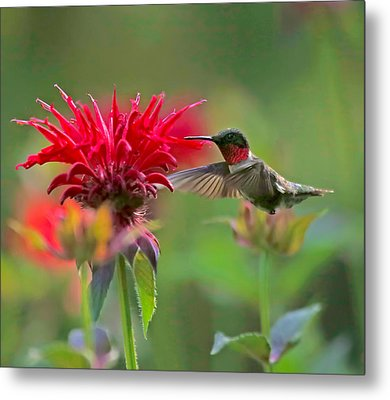 Ruby Throated Hummingbird With Beebalm Metal Print by Clare VanderVeen