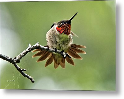 Ruby-throated Velocity Metal Print by Christina Rollo