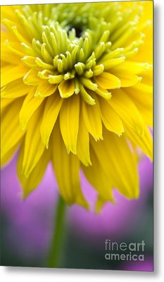 Rudbeckia Cherokee Sunset Flower Metal Print