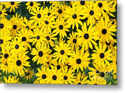 Rudbeckia Fulgida 'pot Of Gold'  Metal Print