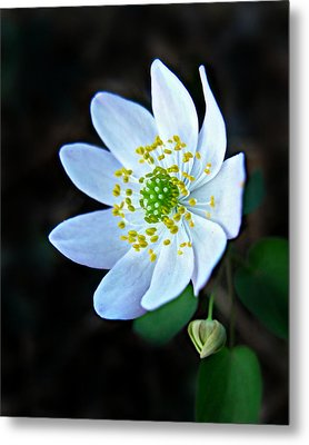 Metal Print featuring the photograph Rue Anemone by William Tanneberger