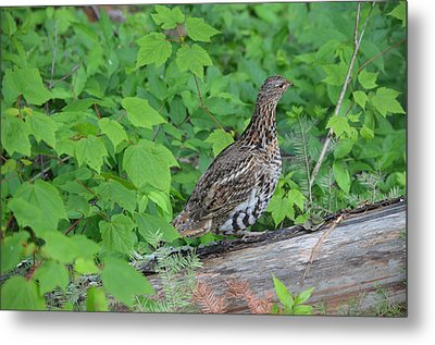 Metal Print featuring the photograph Ruffed Grouse by James Petersen
