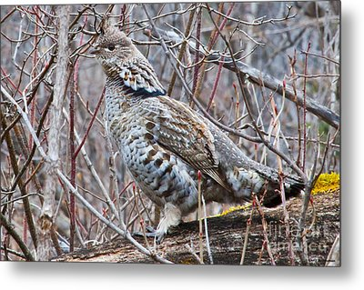 Ruffed Grouse Male Metal Print by Chris Heitstuman