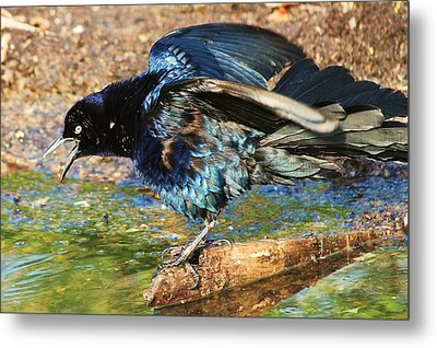Ruffle My Feathers Metal Print by Lorri Crossno