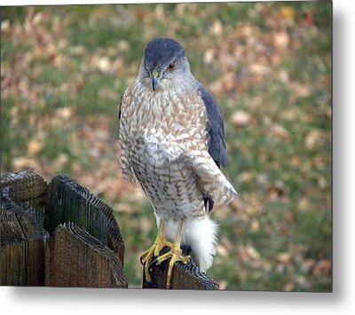 Metal Print featuring the photograph Ruffled Feathers by Teresa Schomig