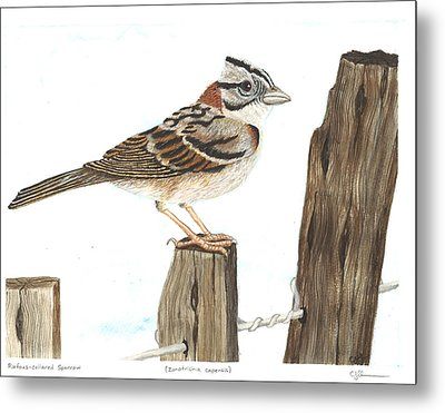 Rufous-collared Sparrow Metal Print by Cindy Hitchcock