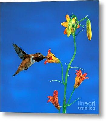 Rufous Hummingbird Metal Print by Anthony Mercieca