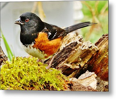 Metal Print featuring the photograph Spotted Towhee by VLee Watson
