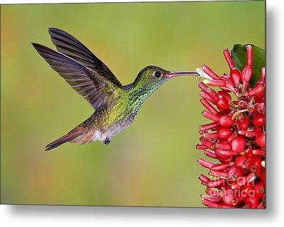 Rufous-tailed Hummingbird Metal Print by Anthony Mercieca