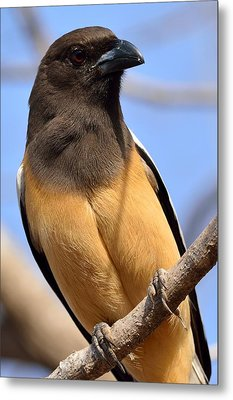 Rufous Treepie. Another Portrait Metal Print by Fotosas Photography