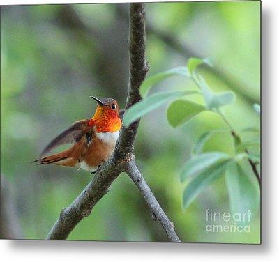 Rufus Hummingbird Metal Print
