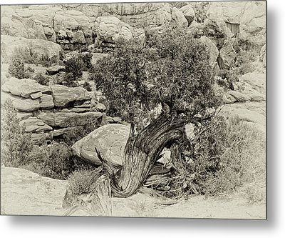 Rugged Tree Metal Print by Betty Depee
