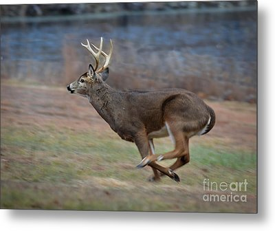 Running Buck Metal Print by Amy Porter