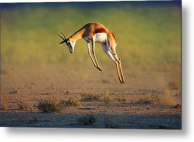 Running Springbok Jumping High Metal Print