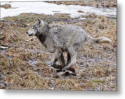 Metal Print featuring the photograph Running Timber Wolf by Wolves Only