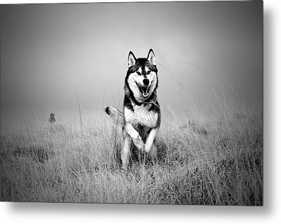 Running Wolf Metal Print by Mike Taylor
