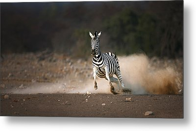 Running Zebra Metal Print by Johan Swanepoel
